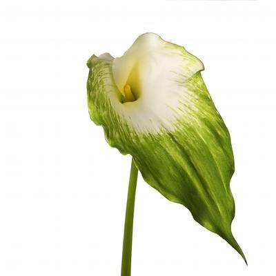 Květina KALA H100 bílá/zelená, Sia