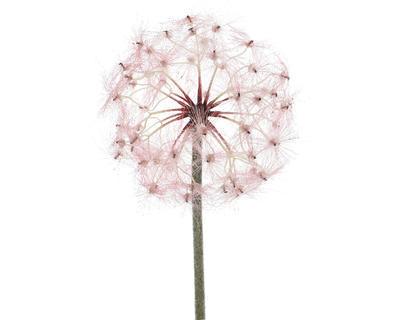 Květina PAMPELIŠKA, 90cm, růžová, Kaemingk
