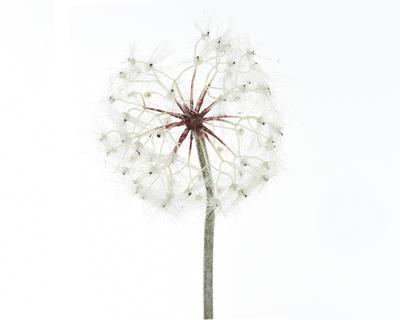 Pampeliška, 90cm, bílá, Kaemingk
