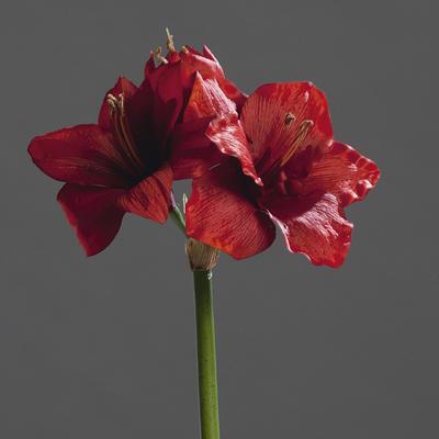 Květina AMARYLLIS 50 cm - červená, DPI