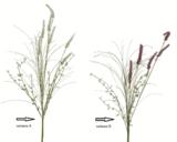 Hyacinth, 60cm, 2 druhy, Kaemingk - 2/4