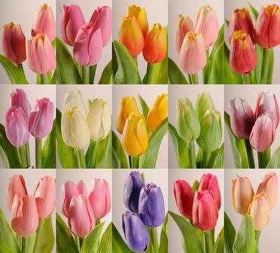 Květina TULIPÁN HOLANDSKÝ - MIX 40 cm, Paramit - 3